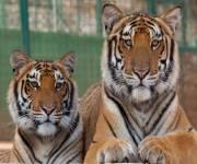 zoosafari_fasanolandia_tigri