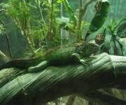 acquario_di_genova_iguana_rettilario