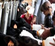 cascina-guzzafame-latte-ai-vitellini
