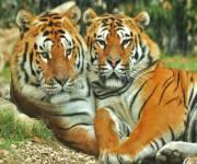 parco-zoo-falconara_tigri