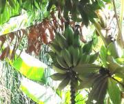 bb-lu-paradisu-bananeto