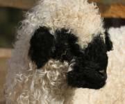maso_gfrillerhof-_pecorelle