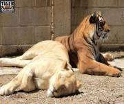 tiger-experience-compagni
