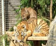 tiger-experience-felini