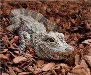 bioparco-roma_alligatorecinese