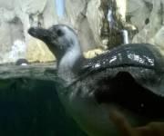 acquario_di_genova_pinguini