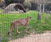 parco_le_cornelle_ghepardi