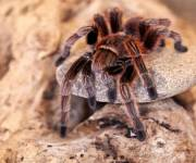 esapolis-ragni