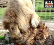 tiger-experience-leone